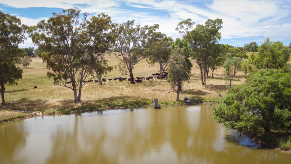 Photo of cattle and a lake