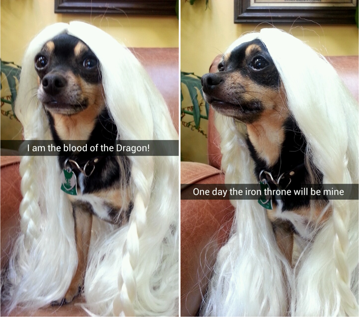 """Chihuahua with blonde Kahleesi wig. Caption """"One day the iron throne will be mine."""""""